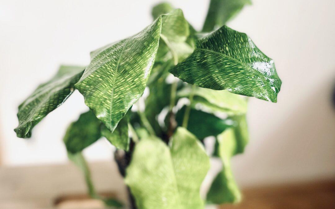 #2 Tropické rostliny potřebují vyšší vzdušnou vlhkost. Jak ji zvýšit? 5 tipů, jak na Calathea Musaica Network